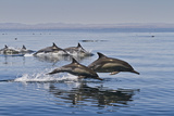 Long-Beaked Common Dolphins, Isla San Esteban, Gulf of California (Sea of Cortez), Mexico Fotografisk tryk af Michael Nolan