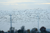 Common Cranes and Pink Footed Geese Fly Near Pylons and Wind Turbines, Germany Photographic Print by Nick Upton