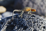 Female Lava Lizard (Microlophus Spp), Las Bachas, Santa Cruz Island, Galapagos Islands, Ecuador Photographic Print by Michael Nolan