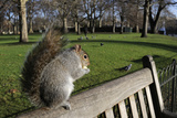 Grey Squirrel Standing on Bench Eating Apple Given by Tourist, St. James's Pk, London, England, UK Photographic Print by Nick Upton