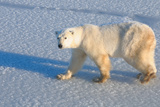 Polar Bear on Fresh Snow, Wapusk National Park, Manitoba, Canada, North America Photographic Print by Bhaskar Krishnamurthy