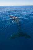 Humpback Whale (Megaptera Novaeangliae) in Harvey Bay, Queensland, Australia, Pacific Photographic Print by Michael Runkel