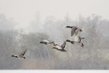 Four Mallard Drakes and a Duck Flying over Frozen Lake in Snowstorm, Wiltshire, England, UK Photographie par Nick Upton