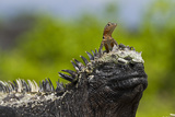 Lava Lizard on Top of Marine Iguana, Las Bachas, Santa Cruz Island, Ecuador Photographic Print by Michael Nolan