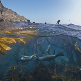 Underwater Photo of Kelp and Sea Lions, Anacapa, Channel Islands National Park, California, USA Photographic Print by Antonio Busiello