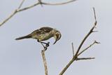 Adult San Cristobal Mockingbird, Cerro Bruja, San Cristobal Island, Ecuador Photographic Print by Michael Nolan