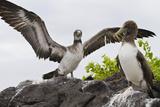 Nazca Booby (Sula Grantii) Chick, Punta Suarez, Santiago Island, Galapagos Islands, Ecuador Photographic Print by Michael Nolan