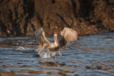Pelican Fishing, Anacapa, Channel Islands National Park, California, United States of America Photographic Print by Antonio Busiello