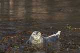 Atlantic Grey Seal (Halichoerus Grypus) Pup, Martins Haven, Pembrokeshire, Wales, United Kingdom Photographic Print by Andrew Daview