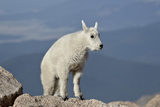 Mountain Goat (Oreamnos Americanus) Kid, Mount Evans, Arapaho-Roosevelt Nat'l Forest, Colorado, USA Photographic Print by James Hager