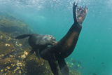 Galapagos Fur Seal Bulls Mock-Fighting Underwater, Genovesa Island, Ecuador Photographic Print by Michael Nolan
