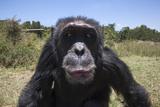 Orphaned or Abused Chimpanzees (Pan Troglodytes), Sweetwaters Chimpanzee Sanctuary, Kenya Photographic Print by Ann & Steve Toon