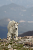Mountain Goat (Oreamnos Americanus), Mount Evans, Arapaho-Roosevelt National Forest, Colorado, USA Photographic Print by James Hager