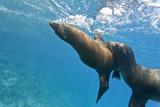 Galapagos Sea Lions (Zalophus Wollebaeki) Underwater, Champion Island, Galapagos Islands, Ecuador Fotografie-Druck von Michael Nolan