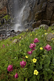 Rosy Paintbrush and Alpine Avens, San Juan Nat'l Forest, Colorado, USA Photographic Print by James Hager