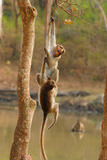 Bonnett Macaques Playing, Karnataka, India, Asia Photographic Print by Bhaskar Krishnamurthy