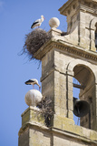 Two European White Storks and their Nests on Convent Bell Tower, Santo Domingo, La Rioja, Spain Photographic Print by Nick Servian