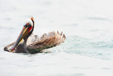 Pelican in Santa Cruz, Channel Islands National Park, California, United States of America Photographic Print by Antonio Busiello