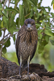 Juvenile Yellow-Crowned Night Heron (Nyctanassa Violacea), Genovesa Island, Galapagos Isl., Ecuador Photographic Print by Michael Nolan