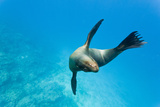 Galapagos Sea Lion (Zalophus Wollebaeki) Underwater, Champion Island, Galapagos Islands, Ecuador Photographic Print by Michael Nolan
