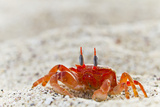 Painted Ghost Crab (Ocypode Gaudichaudii), Cerro Bruja, San Cristobal Island, Galapagos Is, Ecuador Photographic Print by Michael Nolan