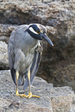 Adult Yellow-Crowned Night Heron (Nyctanassa Violacea), Genovesa Island, Galapagos Islands, Ecuador Photographic Print by Michael Nolan
