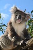 Koala Bear, Melbourne, Victoria, Australia, Pacific Photographic Print by Bhaskar Krishnamurthy