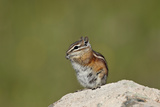 Colorado Chipmunk (Eutamias Quadrivittatus) Eating, San Juan National Forest, Colorado, USA Photographic Print by James Hager
