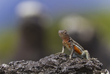 Lava Lizard (Microlophus Spp), Las Bachas, Santa Cruz Island, Galapagos Islands, Ecuador Photographic Print by Michael Nolan