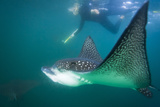 Spotted Eagle Ray (Aetobatus Narinari) Underwater, Leon Dormido Is, San Cristobal Island, Ecuador Photographic Print by Michael Nolan