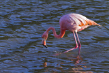 Greater Flamingo (Phoenicopterus Ruber), Las Bachas, Santa Cruz Island, Galapagos Islands, Ecuador Photographic Print by Michael Nolan