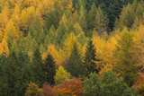 Variety of Coniferous Tree Colours in Autumn, Lake District National Park, Cumbria, England, UK Photographic Print by Ian Egner