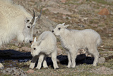 Mountain Goat Nanny and Kids, Mt Evans, Arapaho-Roosevelt Nat'l Forest, Colorado, USA Photographic Print by James Hager