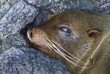 Galapagos Fur Seal (Arctocephalus Galapagoensis), Puerto Egas, Santiago Is, Galapagos Is, Ecuador Photographic Print by Michael Nolan