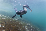 Flightless Cormorant (Nannopterum Harrisi) Hunting Underwater, Tagus Cove, Isabela Island, Ecuador Photographic Print by Michael Nolan