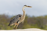 Adult Great Blue Heron (Ardea Herodias Cognata), Las Bachas, Santa Cruz Is, Galapagos Is, Ecuador Photographic Print by Michael Nolan