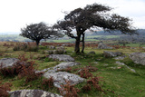 Two Windswept Trees, Near Hexworthy, Dartmoor, Devon, England, United Kingdom, Europe Photographic Print by David Lomax