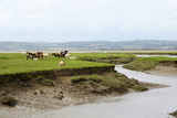 Sheep and Welsh Ponies (Equus Caballus) on Llanrhidian Saltmarshes, Gower Peninsula, Wales, UK Photographic Print by Nick Upton