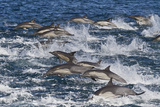 Long-Beaked Common Dolphin (Delphinus Capensis) Pod, Isla San Esteban, Gulf of California, Mexico Photographic Print by Michael Nolan