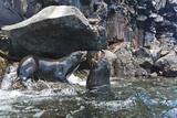 Galapagos Fur Seal (Arctocephalus Galapagoensis) Bulls Mock-Fighting, Genovesa Island, Ecuador Photographic Print by Michael Nolan