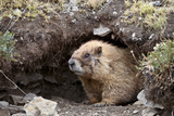 Yellow-Bellied Marmot at Burrow Entrance, San Juan Nat'l Forest, Colorado, USA Photographic Print by James Hager