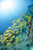 Medium Shoal or School of Blue Striped Snapper, Naama Bay, Off Sharm El Sheikh, Egypt Photographic Print by Mark Doherty