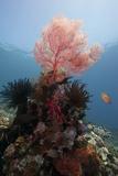 Reef Scene with Sea Fan, Komodo, Indonesia, Southeast Asia, Asia Photographie par Lisa Collins