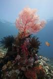 Reef Scene with Sea Fan, Komodo, Indonesia, Southeast Asia, Asia Photographic Print by Lisa Collins