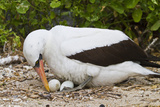 Adult Nazca Booby (Sula Grantii) on Eggs, Punta Suarez, Santiago Island, Galapagos Islands, Ecuador Photographic Print by Michael Nolan