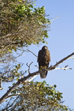 Galapagos Hawk (Buteo Galapagoensis), Espanola Island, Galapagos Islands, Ecuador, South America Photographic Print by Michael Nolan