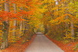 Julian Elliott - Autumn Colours in Beech Trees on the Road to Turkdean in the Cotwolds, Gloucestershire, England, UK Fotografická reprodukce