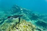 Adult Galapagos Penguin (Spheniscus Mendiculus) Underwater, Bartolome Island, Galapagos Is, Ecuador Photographic Print by Michael Nolan