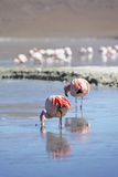 Flamingoes at Laguna Adeyonda on Altiplano, Potosi Department, Bolivia, South America Photographic Print by Ian Trower
