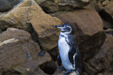 Adult Galapagos Penguin (Spheniscus Mendiculus), Bartolome Island, Galapagos Islands, Ecuador Photographic Print by Michael Nolan
